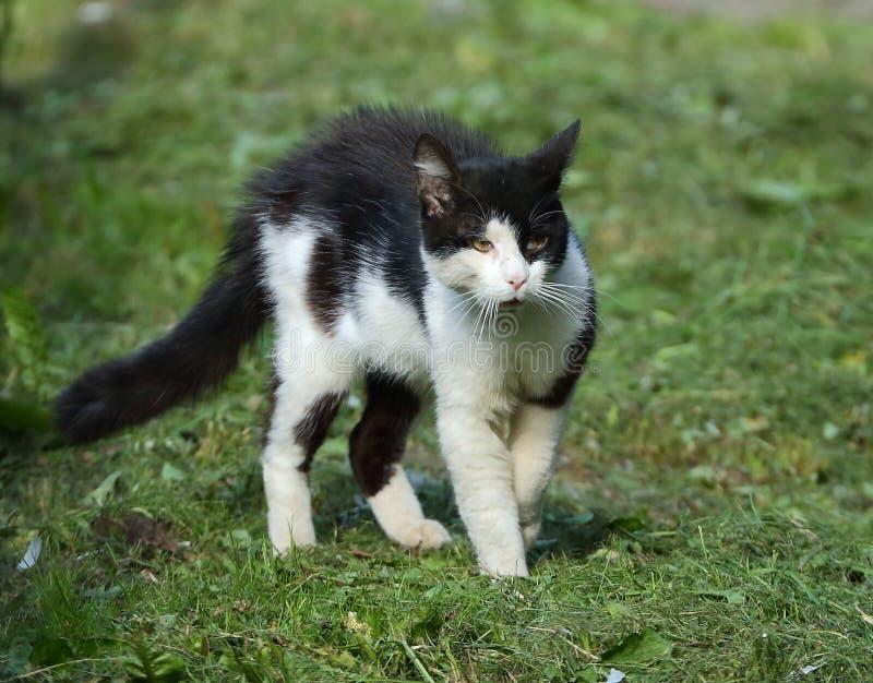 Svartvit katt för en kamp royaltyfri foto