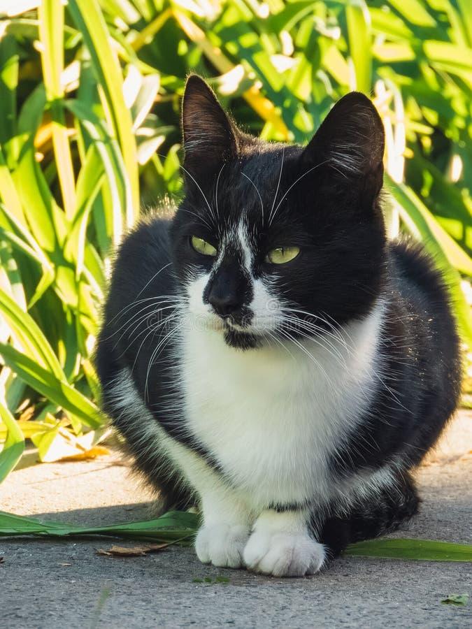 Svartvit katt för stående som sitter i trädgård Katt som ser framdelen i en trädgård i dagen som tänder katts framsidanärbild tar arkivfoton
