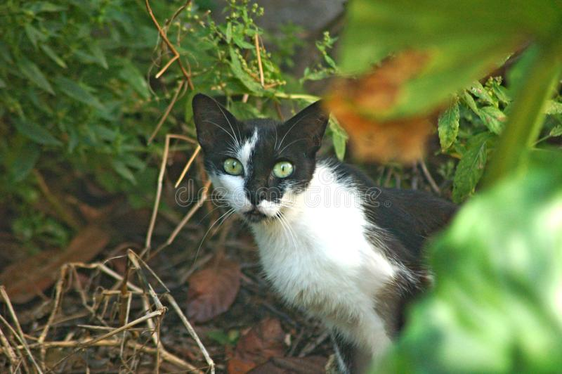 Svartvit katt med ljust - gröna ögon i en italienareträdgård fotografering för bildbyråer
