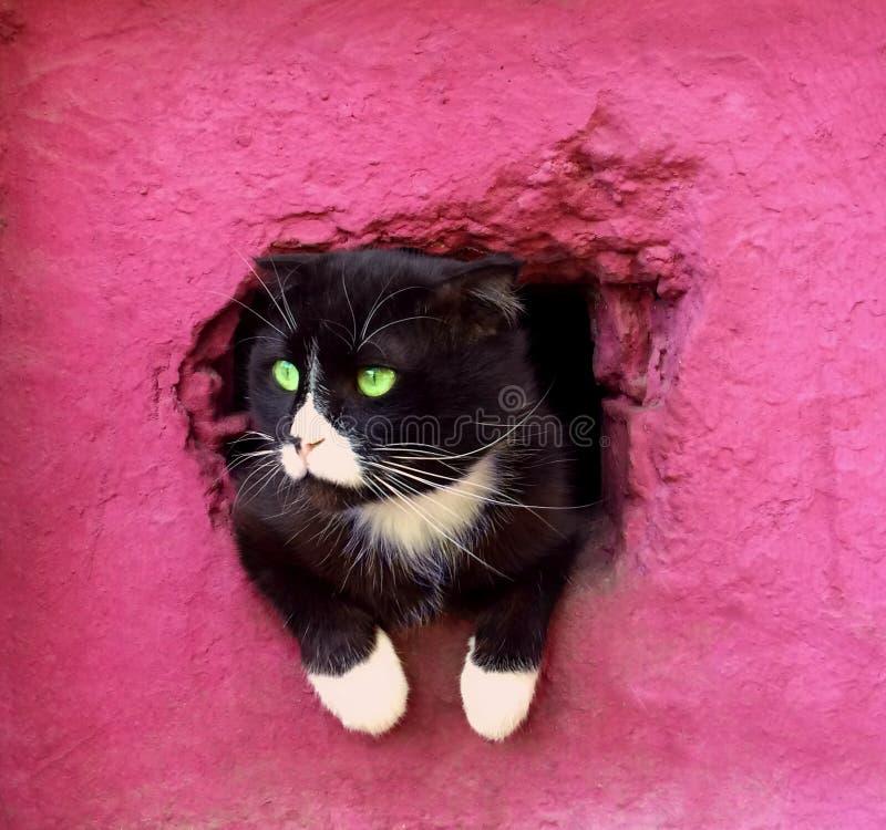 Svartvit katt p? en rosa bakgrund Den allvarliga kloka katten fick ut se världen den ledsna katten ser ut ur källarefönstret fotografering för bildbyråer