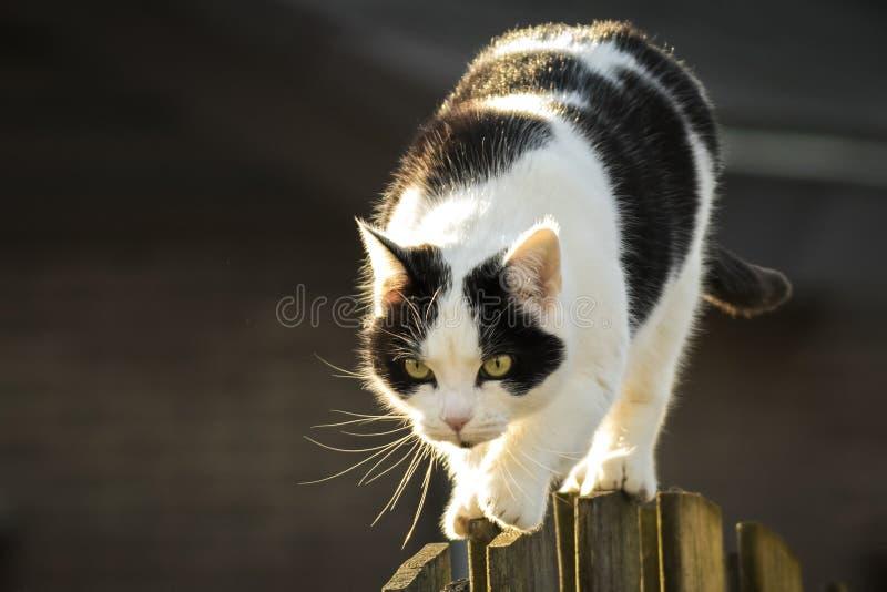 Svartvit katt som går staketet royaltyfri foto