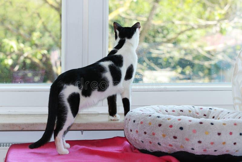 Svartvit katt som ser ut ur fönstret royaltyfria foton
