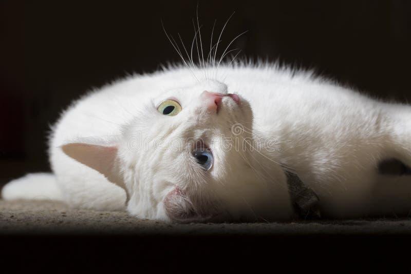 Svartvit kattbaksida royaltyfri foto