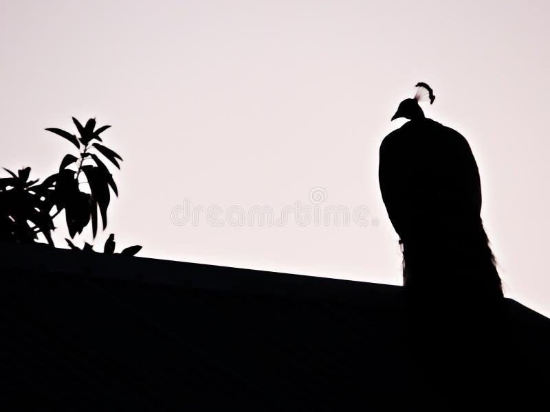 Svartvit kontrast skuggar fläckpåfågeln arkivfoto