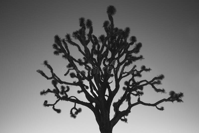 Svartvit kontur av Joshua Tree royaltyfria foton
