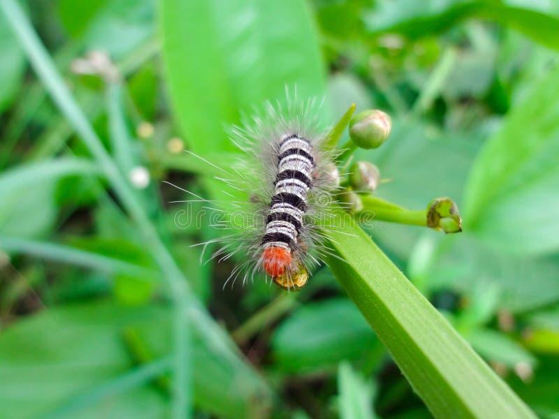 Svartvit larv som äter gröna blommor som inte blommar arkivfoto