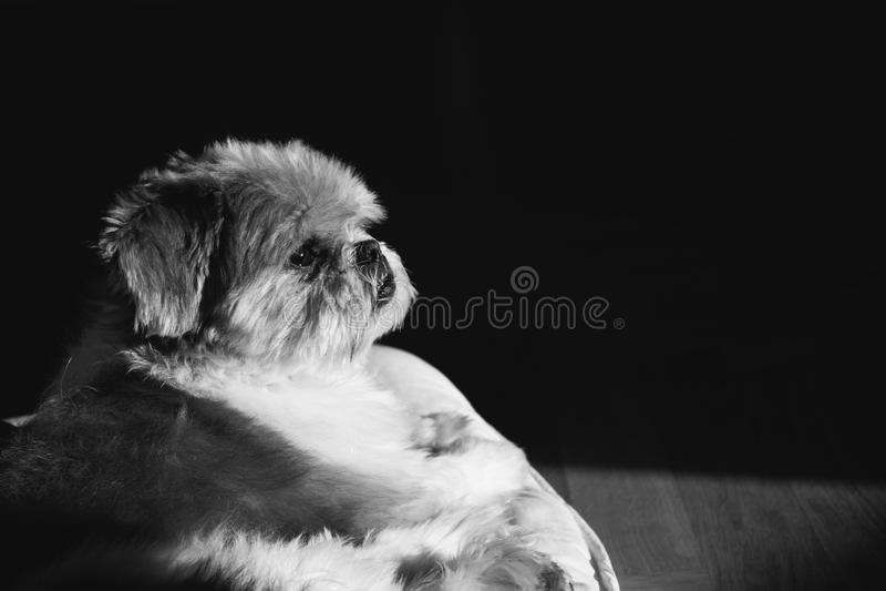 Svartvit Lhasa Apso hund royaltyfri foto