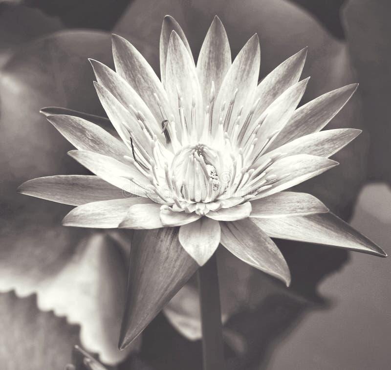 Svartvit lotusblommablomma arkivbilder