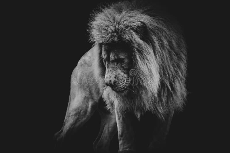 Svartvit mörk stående av ett afrikanskt lejon royaltyfria bilder