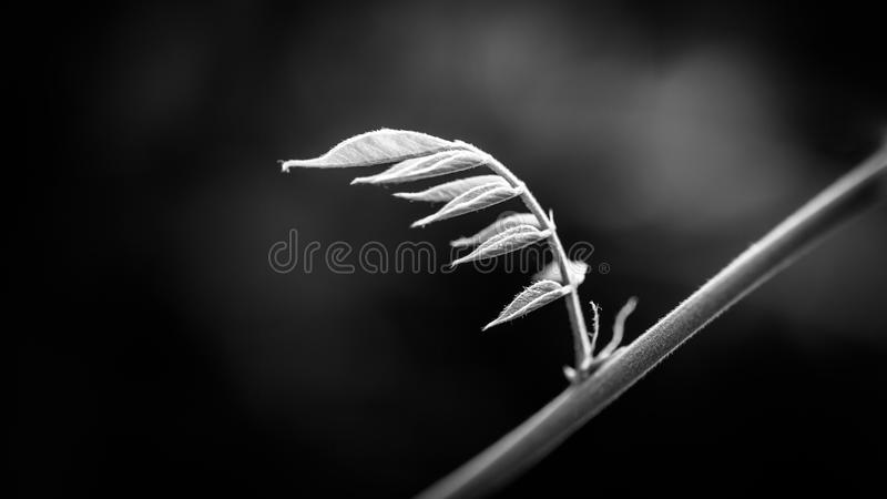 Svartvit naturbakgrund Växttillväxt som isoleras på svart arkivbild