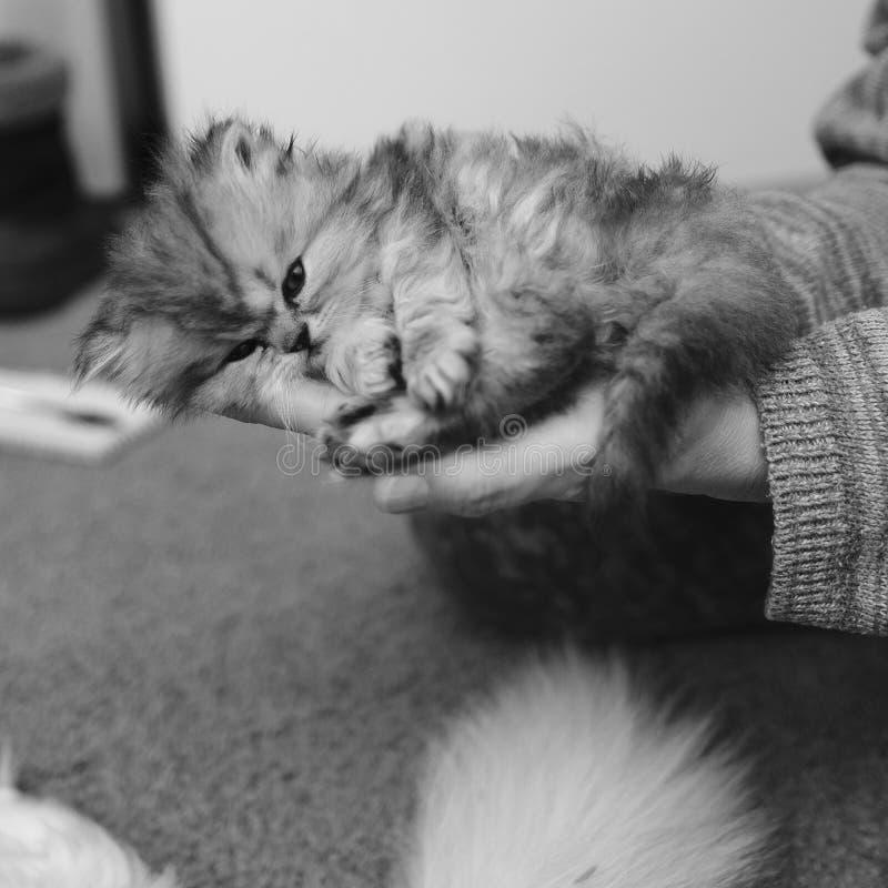 Svartvit persisk kattunge, i att spela för händer arkivfoto