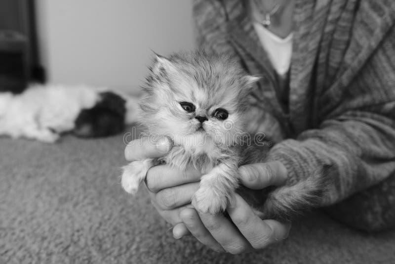 Svartvit persisk kattunge, i att spela för händer royaltyfri fotografi