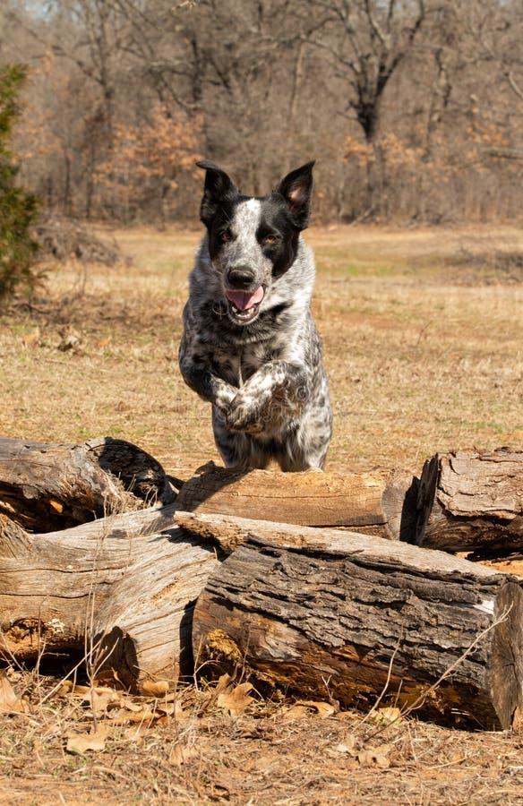 Svartvit prickig hund som hoppar över journaler, royaltyfria bilder