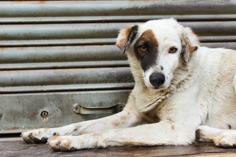 Svartvit prickig hund som sitter på moment arkivbild