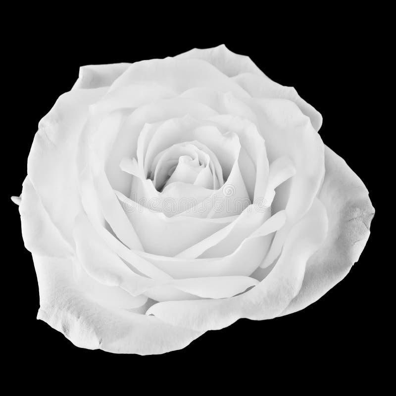 Svartvit ros royaltyfria foton