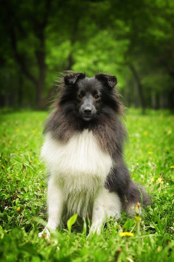 Svartvit Sheltie hund royaltyfri fotografi