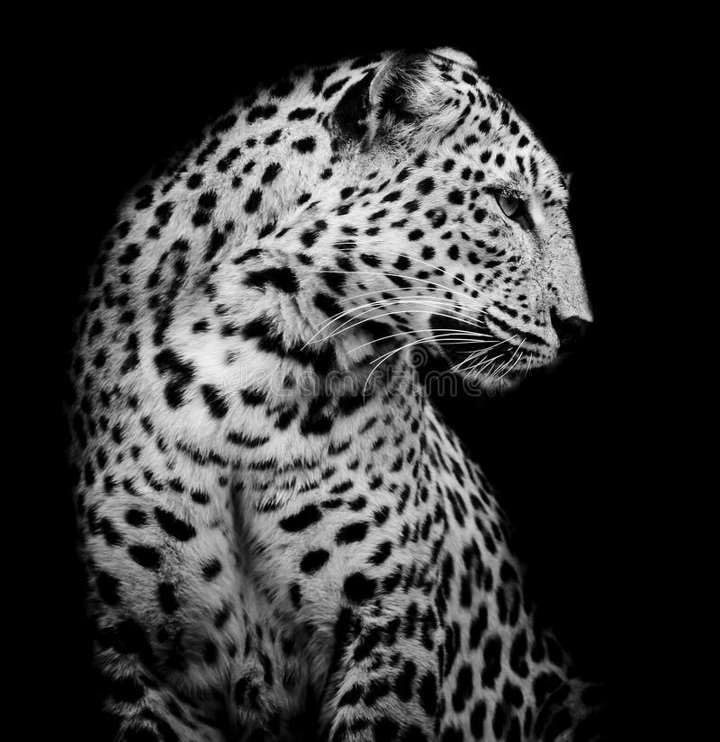 Svartvit sida av leoparden arkivbild