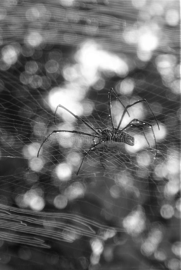 Svartvit spindel och rengöringsduk royaltyfria bilder