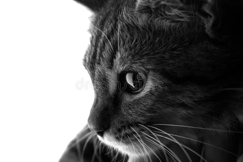 Svartvit stående av en katt arkivbild