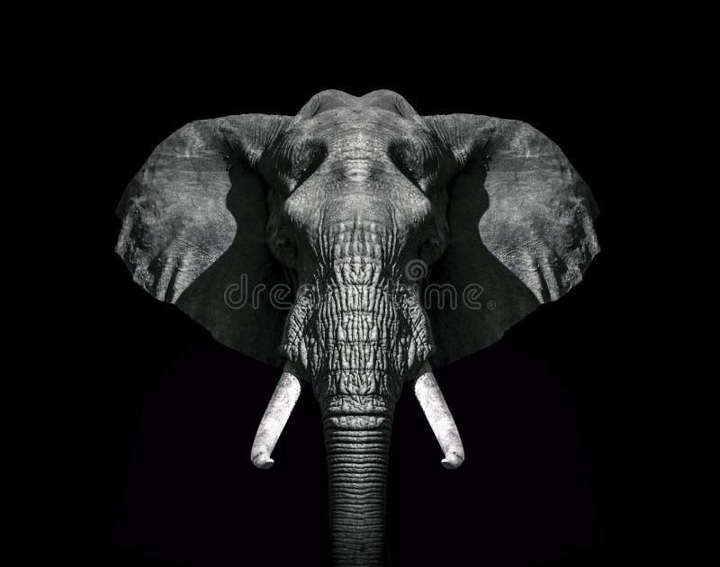 Svartvit tapet för elefanthuvud royaltyfri bild
