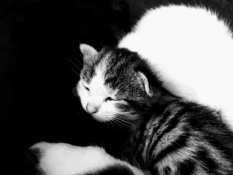 Svartvit ung kattunge som sover i grupp royaltyfria foton
