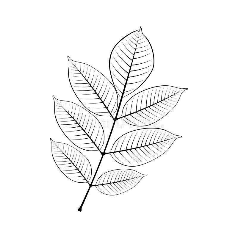 Svartvit vektorillustration av askabladet stock illustrationer