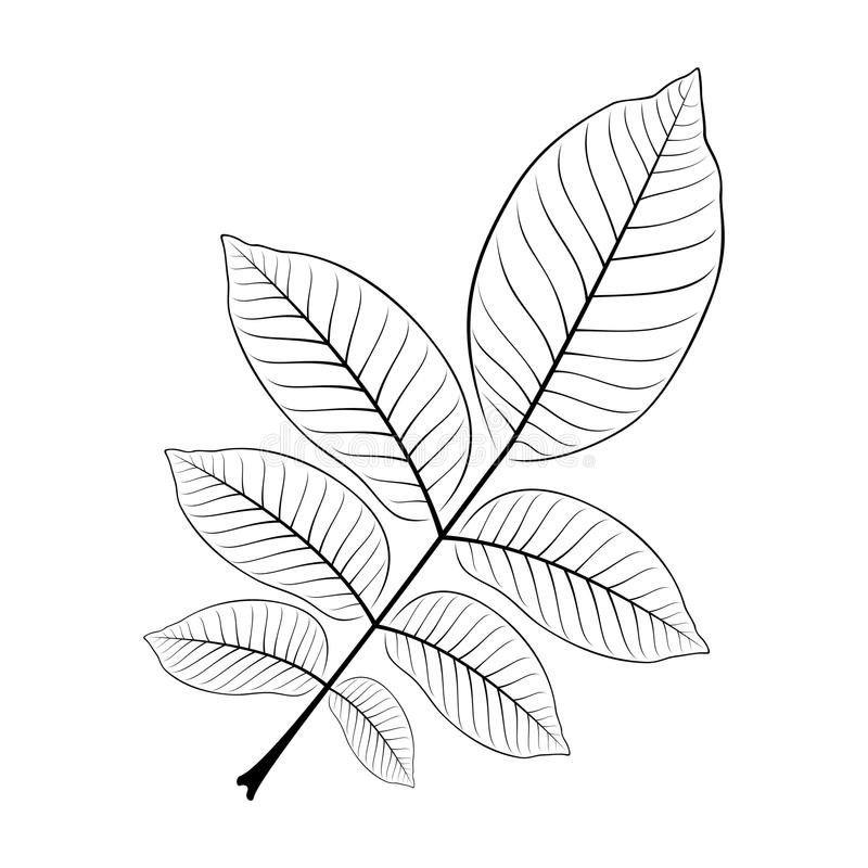 Svartvit vektorillustration av ett valnötblad vektor illustrationer