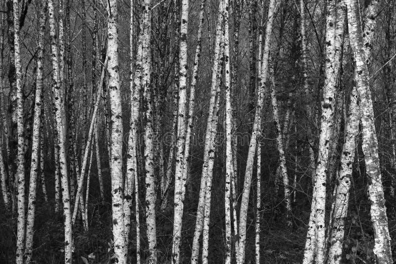 Svartvita björkträd som tillsammans grupperas royaltyfria bilder