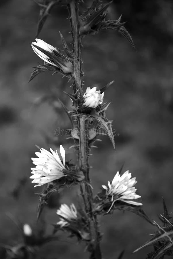 Svartvita blommor arkivbild