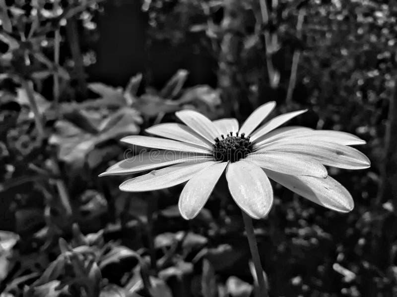 Svartvita blommor royaltyfri foto