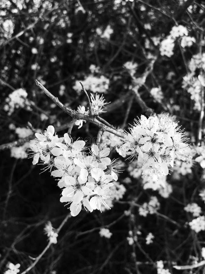 Svartvita blommor royaltyfri fotografi
