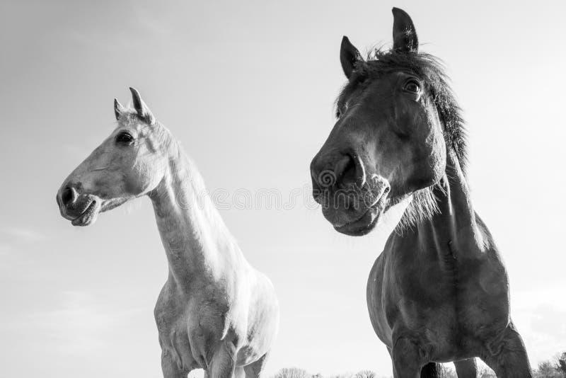 Svartvita hästar utomhus på en ljusa Sunny Day royaltyfri bild