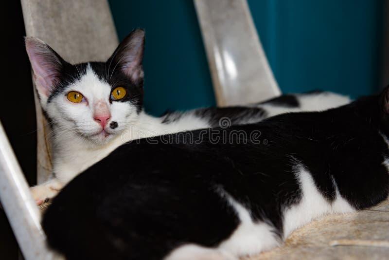 Svartvita katter som tätt sover på stolkatter upp, selektivt royaltyfria foton