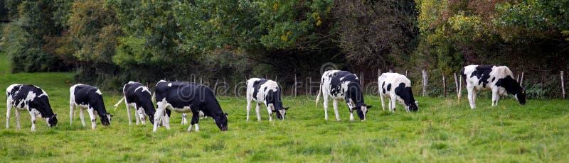 Svartvita kor i en äng royaltyfri foto