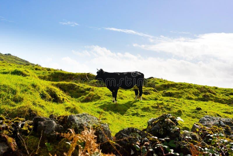 Svartvita oxar som betar ovanför molnen, Azores lantlig landskapplats, bygdsikt, lantgårddjur, nötkreatur arkivbilder