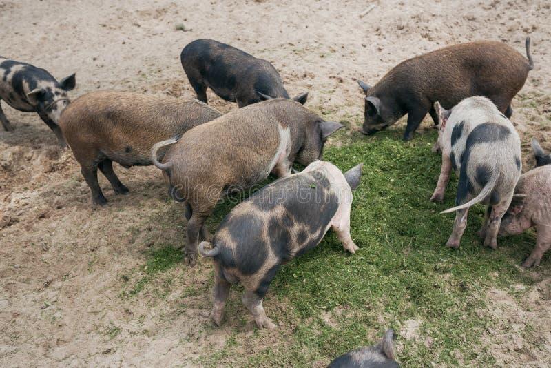 Svartvita svin äter grönt gräs på sanden på gatan arkivbild