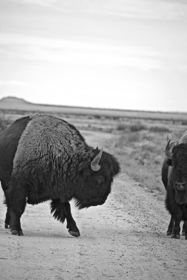 Svartvitt av bison två på lägenhetjordning arkivbilder
