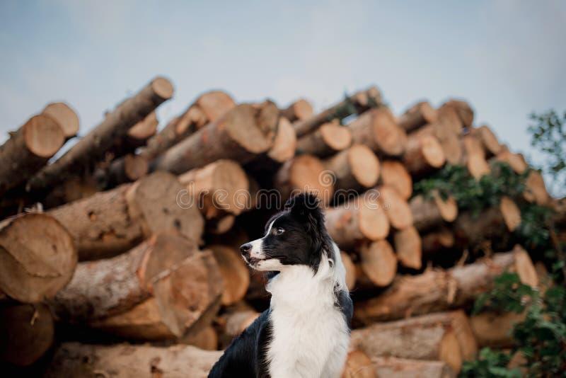 Svartvitt border collie hundsammanträde Loan bakgrund arkivfoton