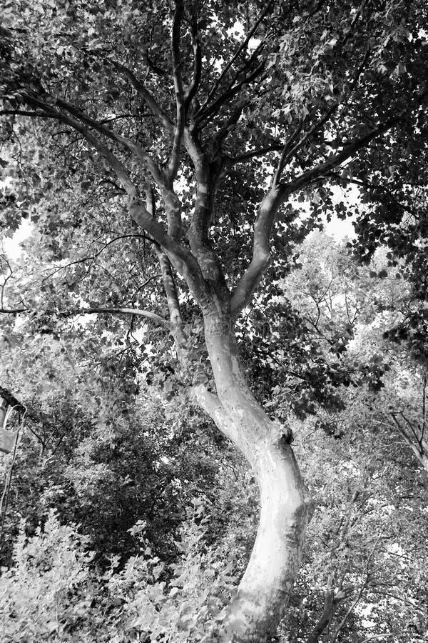 Svartvitt buktigt träd royaltyfri foto