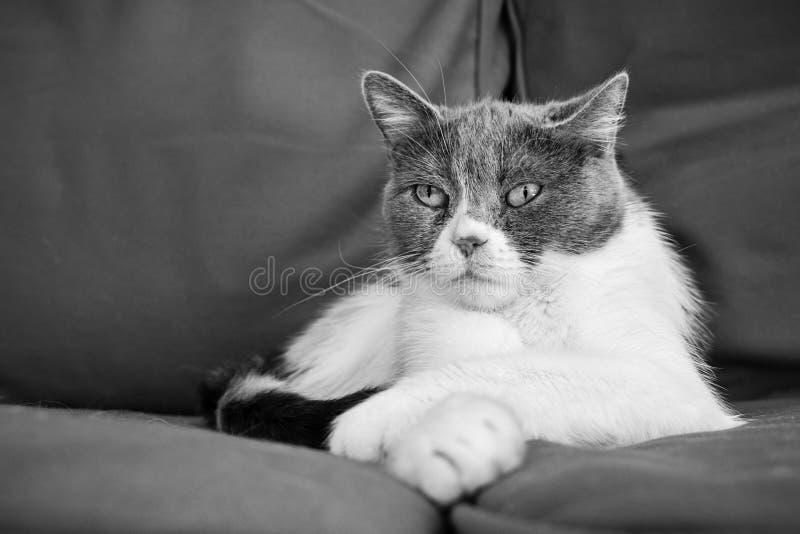 Svartvitt foto av denavel katten som sitter på en soffa med en för att tafsa över annan i en avkopplad position royaltyfria bilder