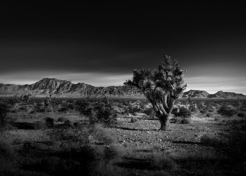 Svartvitt foto av en Joshua Tree arkivbild