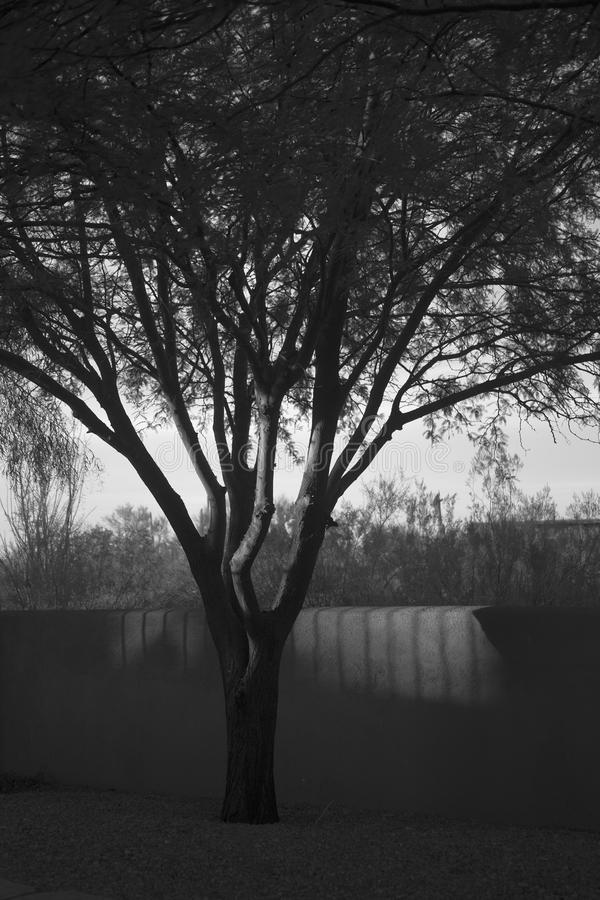 Svartvitt foto av ett träd i skuggorna av gartenen royaltyfria bilder
