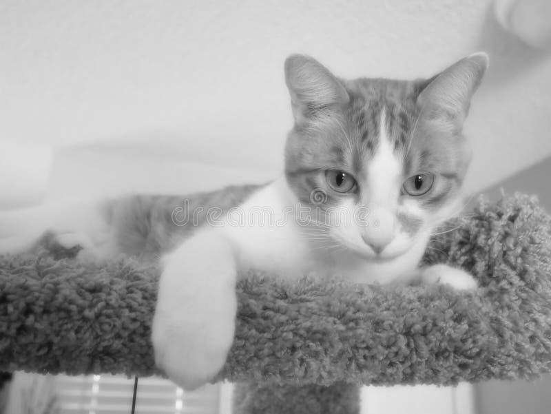 Svartvitt foto av katten royaltyfria foton