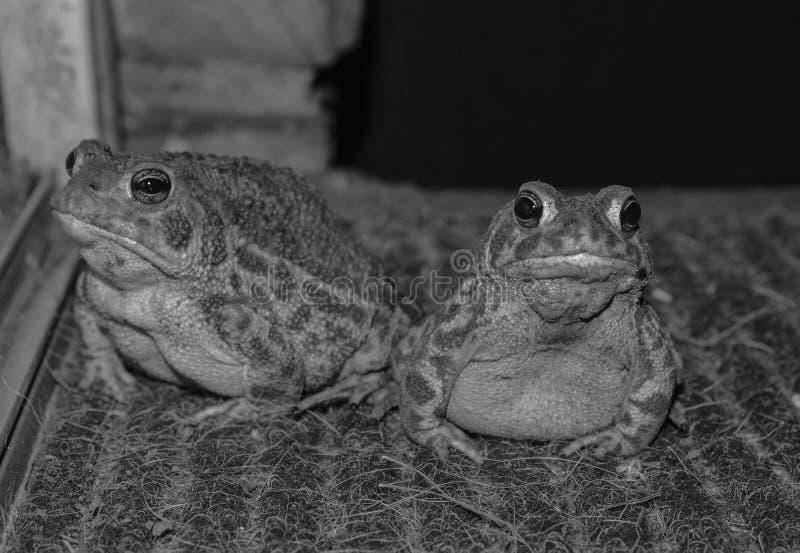 Svartvitt foto av två paddor royaltyfria foton