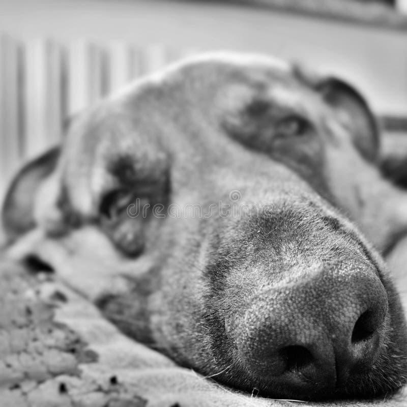svartvitt fotografi av en härlig framsida av en sömnig hund arkivfoto