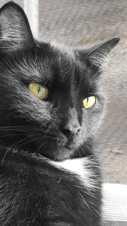 Svartvitt fotografi av en katt arkivbild