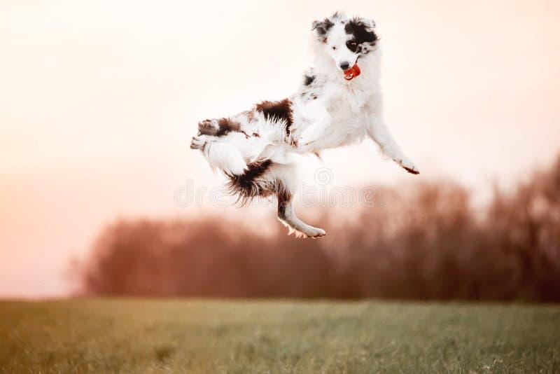 Svartvitt hundborder collie hopp in till himlen i fält arkivbild