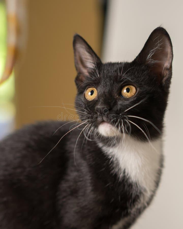 Svartvitt kattungeslut upp royaltyfri foto