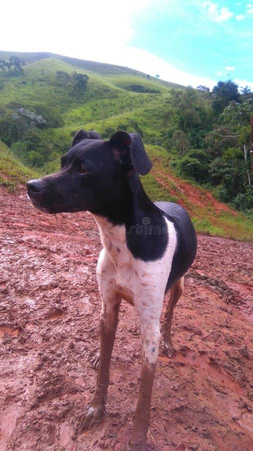 Svartvitt lyckligt spela för brasilian Terrier, för valp i leran med berg och blå himmel i bakgrunden fotografering för bildbyråer