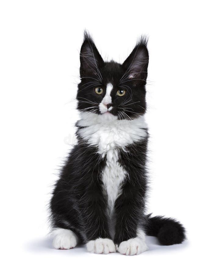Svartvitt sammanträde för Maine Coon kattkattunge som isoleras på vit arkivfoto